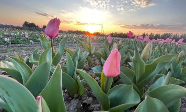Foggia, Bari: tulipani per operatori sanitari e pazienti