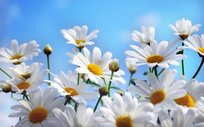Sự tích hoa cúc trắng