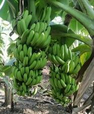 Banana Trading Business Idea - Cavendish Banana