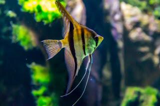 Angelfish Breeding