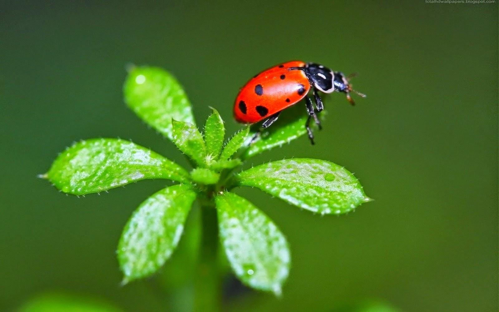 Beautiful Wallpapers: Ladybugs Wallpapers