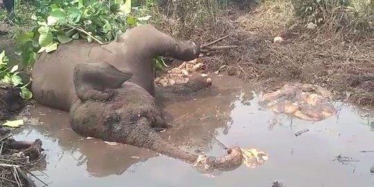Warga Bengkalis Temukan Gajah Liar Membusuk