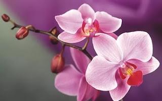Цветок Анастасии - розовая орхидея
