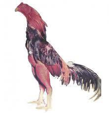 Ayam Jago Keren Ayam Yang Bagus Menangan