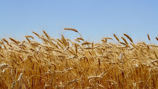 A wheat field in Kansas. (Credit: Shutterstock) Click to enlarge.