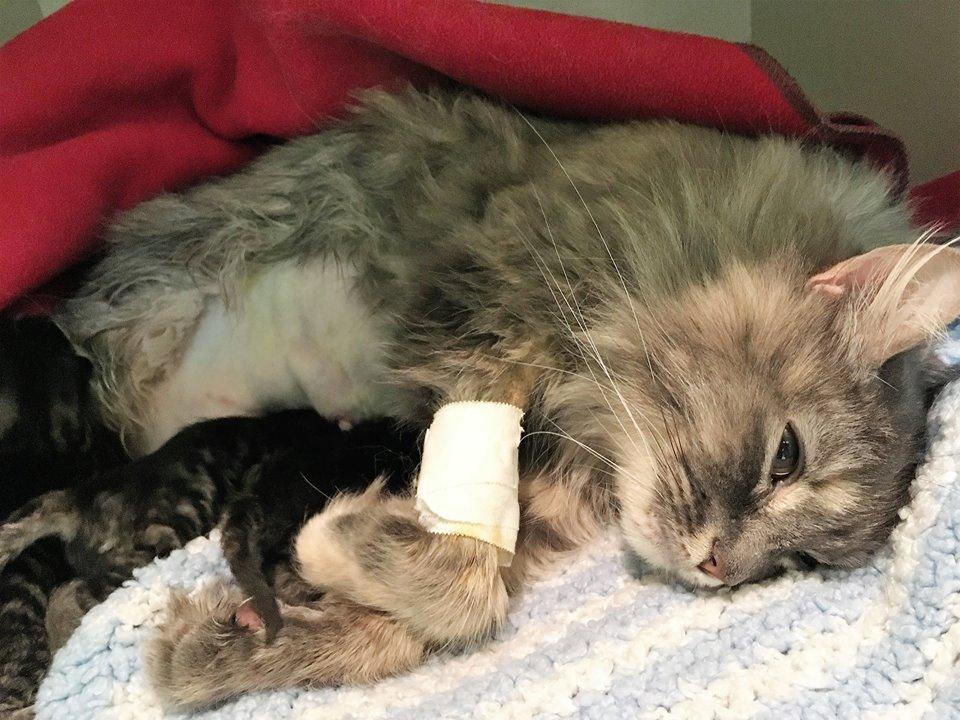 kucing habis melahirkan operasi caesar