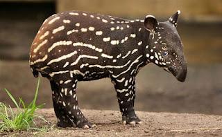 Green Pear Diaries, animales bebé, crías, tiernos, tapir