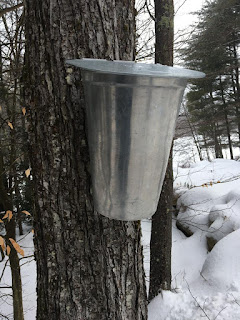 how to tap a maple tree