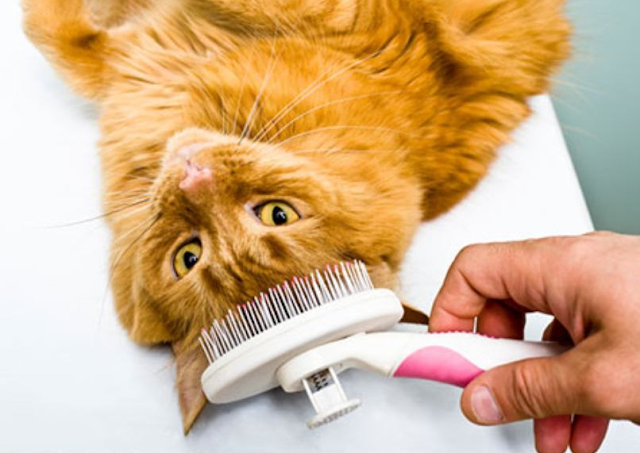 Cara Merawat Bulu Kucing Agar Tidak Rontok