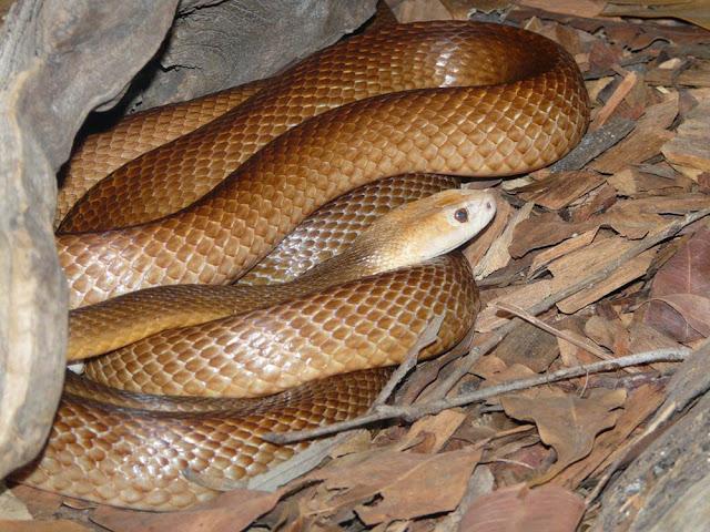 Cobra Taipan