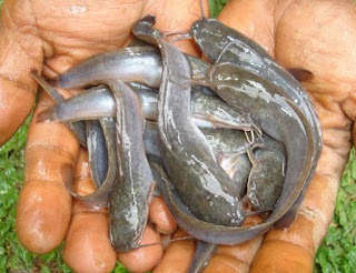 cara budidaya ikan lele sangkuriang,budidaya ikan lele kolam tembok,cara budidaya ikan lele di kolam tanah,budidaya ikan lele di kolam terpal,cara budidaya ikan lele sangkuriang,
