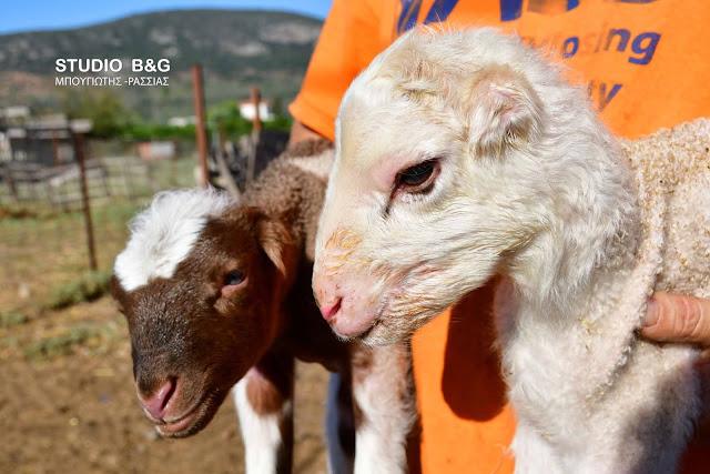 Σπάνιο φαινόμενο στο Ναύπλιο: Γεννήθηκαν αρνάκια χωρίς αυτιά (βίντεο)
