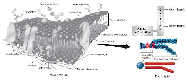 Gambar  . Membran sel