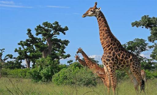 Tourisme, réserve, parc, Bandia, zone, hôtel, safari, vacances, nature, végétation, animaux, visite, voyage, LEUKSENEGAL, Sénégal, Dakar, Afrique