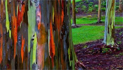 Pohon Loreng