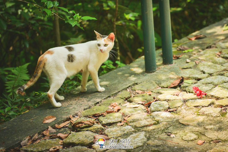 Mountain cat @ Guia Fortress and Garden