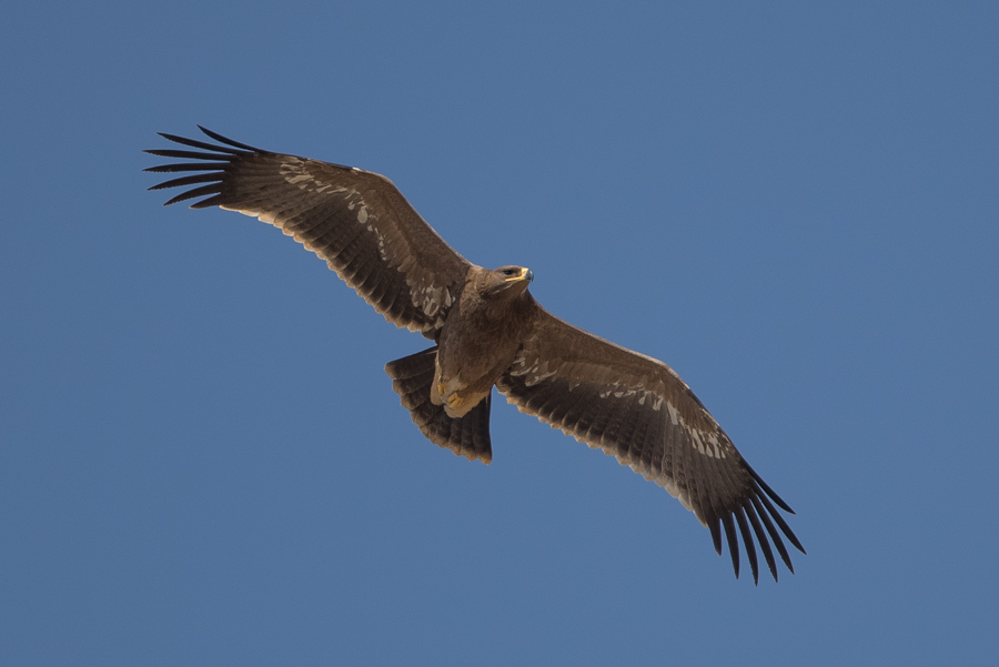 Migrating Steppe Eagles – Between Tanoumah & Abha