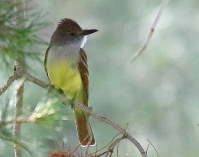 Photo of Brown-crested Flycatcher in tree