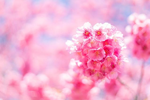 桜,背景,ボケ