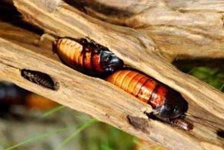 Peluang Usaha Budidaya Kecoa Madagaskar