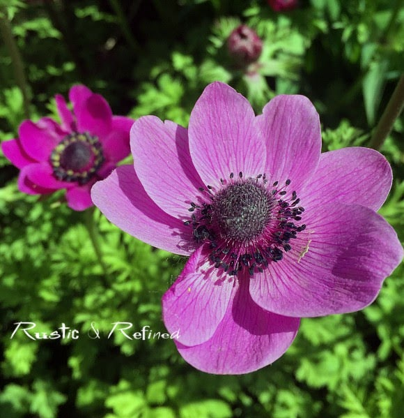 Anemone perennial plants that are big performers in the garden