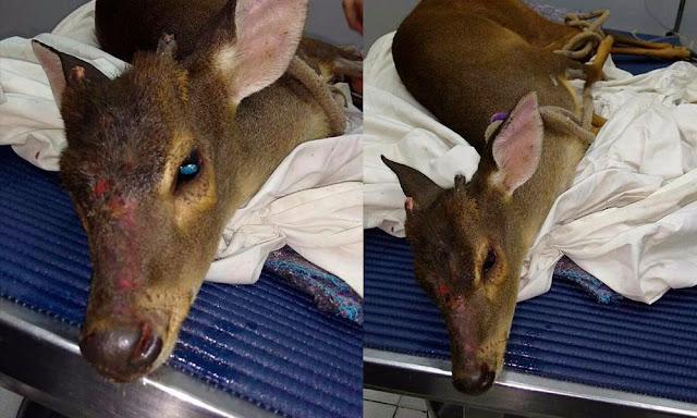 Pelotão Ambiental da GCM, resgata cervo em propriedade rural de Limeira