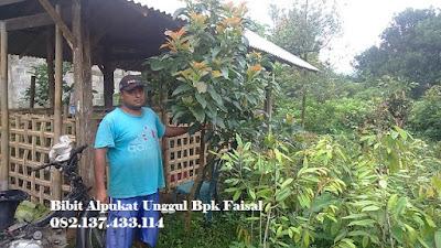 Bibit Alpukat Mentega Bpk Faisal - 082.137.433.114