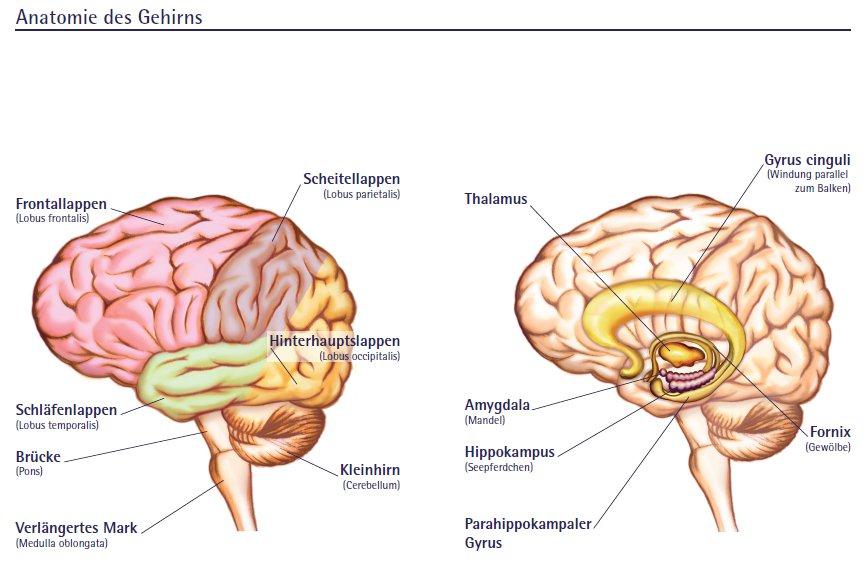 natasa.m.sajlovic: Die Neuroanatomie-Das Gehirn (Teil 2)