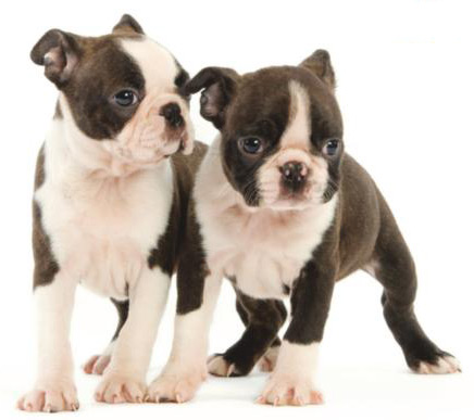 Cachorros Boston Terrier en Santo Domingo