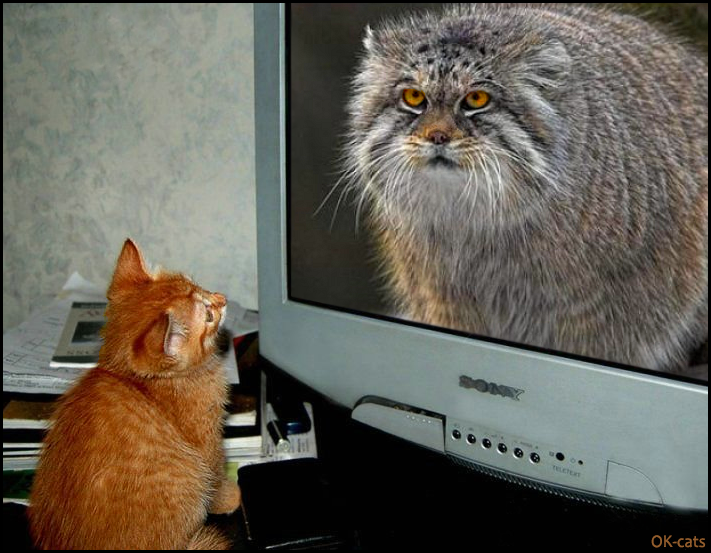 Funny photoshopped picture • Innocent kitty discovering a big Pallas's cat on TV screen