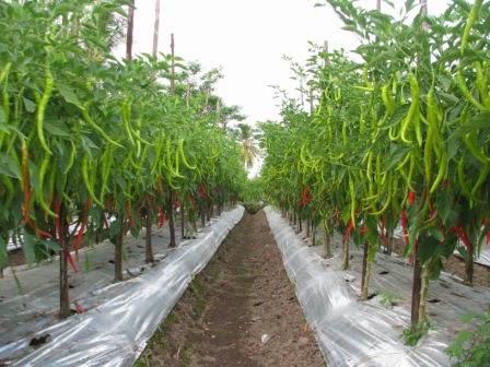 kiat menanam tomat LMGA AGRO Toko Grosir Online Harga