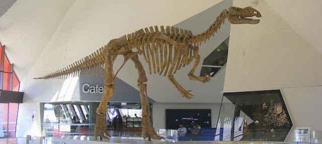 Cast of a Muttaburrasaurus langdoni skeleton in the foyer of the National Museum of Australia.