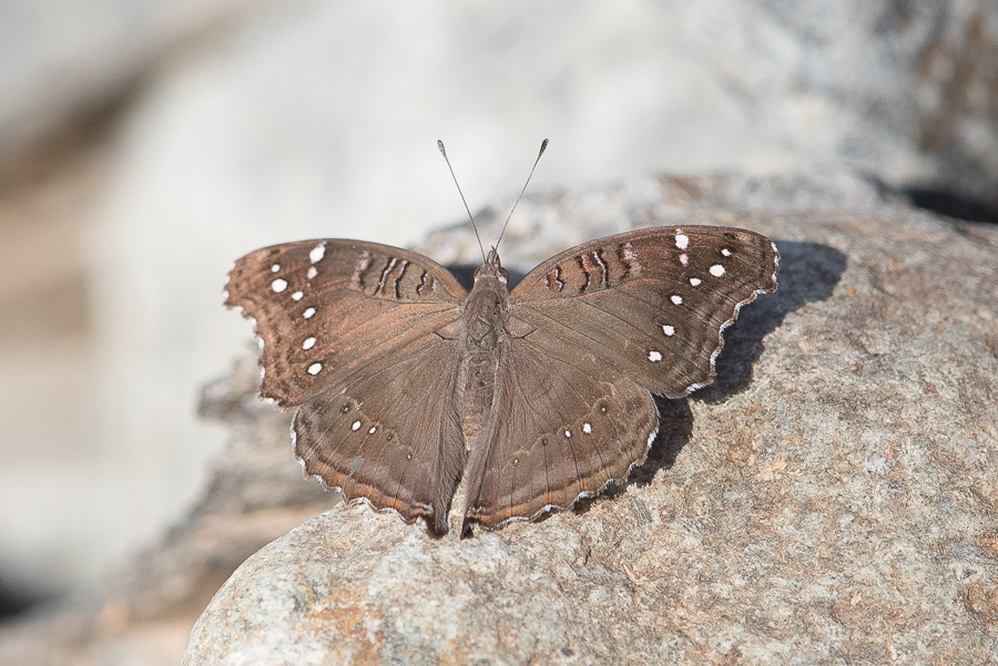 White-spotted Pansy – Raydah Escarpment