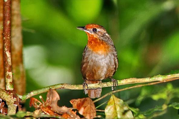 https://bio-orbis.blogspot.com.br/2014/01/o-uirapuru-verdadeiro.html