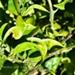 http://plantasmedicinalesatusalud.blogspot.com.ar/2014/11/limon.html