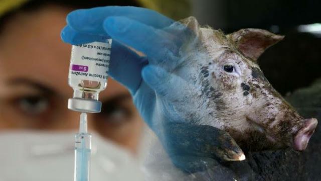 MUI: Vaksin AstraZeneca Mengandung Babi dan Haram, Tapi Boleh Dipakai