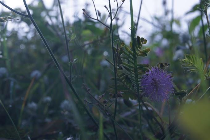 Bunga Putrimalu dan embun pagi