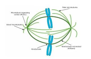 Apa yang dimaksud dengan prometafase?