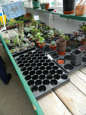 Sunnybrook Volunteer Association greenhouse succulents ready to be potted by garden muses-not another Toronto gardening blog