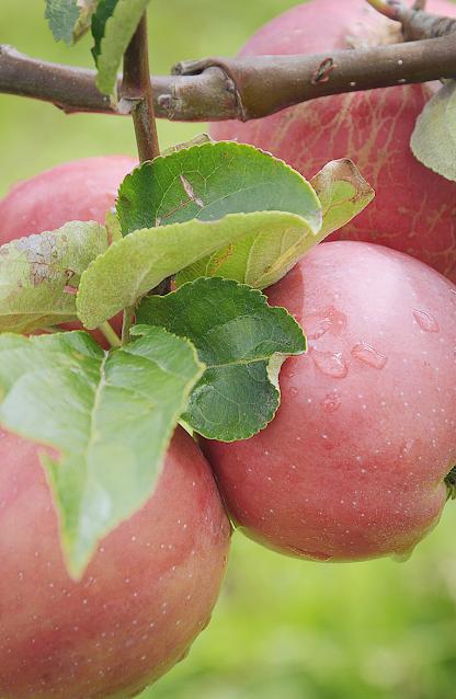 Deshalb sind Äpfel so gesund...