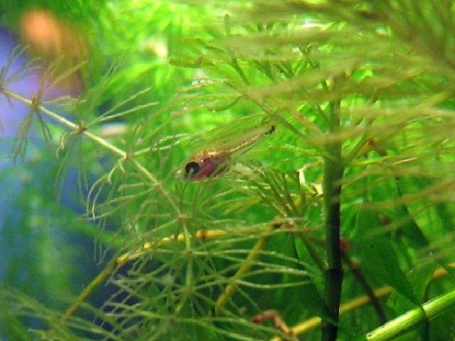 Kolam Pembesaran Ikan Dwarf Gourami Hias