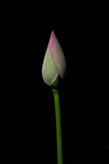 image of a growing lotus