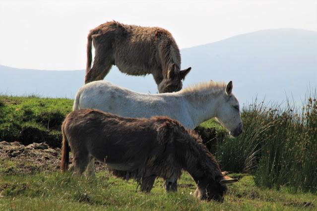 Donkeys at Ceide Fields