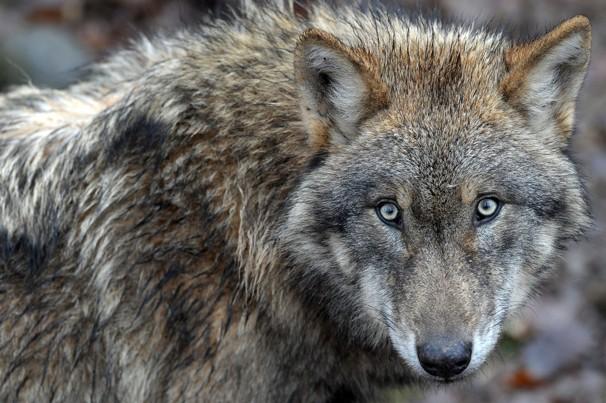 Animal Unique Eurasian Wolf