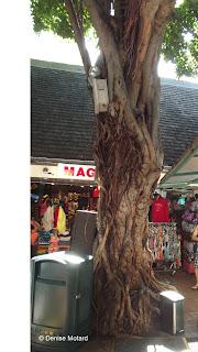 Banyan tree, International Market Place, Waikiki, Oahu