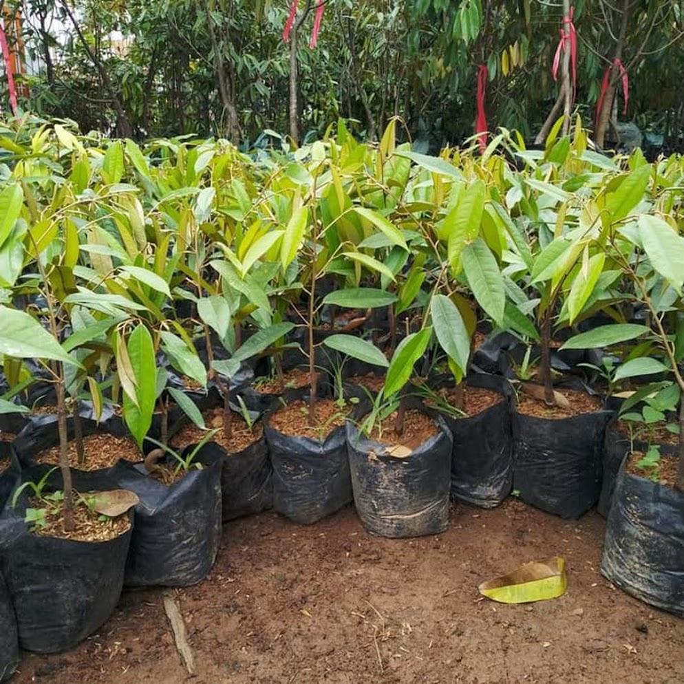 Bibit Durian Musangking Hasil Okulasi Cepat Berbuah