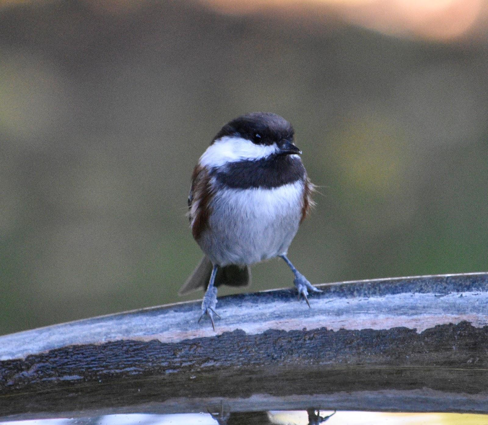 Oregon Backyard Birds, etc.: Winter Birds