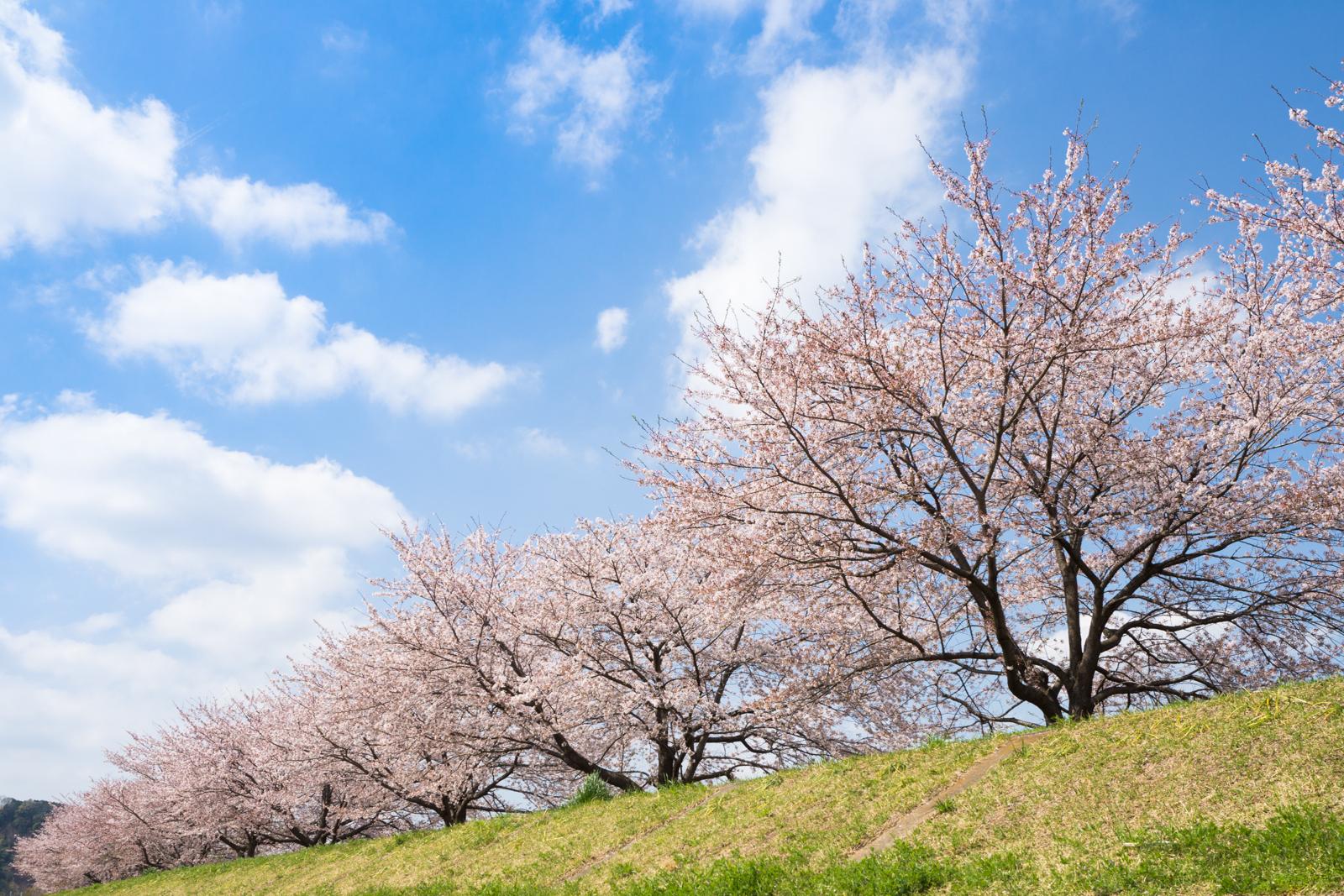 羽村の堰周辺の桜の写真