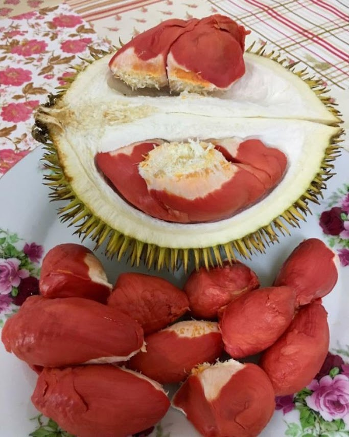 Bibit Durian Merah Unggul Banten