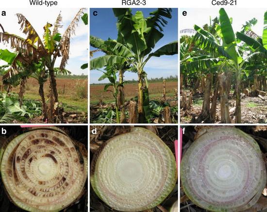 LaporanPenelitian.com Pisang Cavendish modifikasi genetik tahan jamur TR4